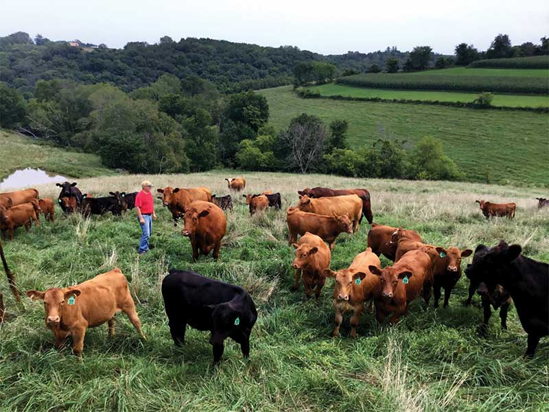 National Farmers - Petersen Cattle